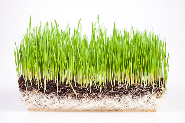 The Health Benefits of Wheatgrass