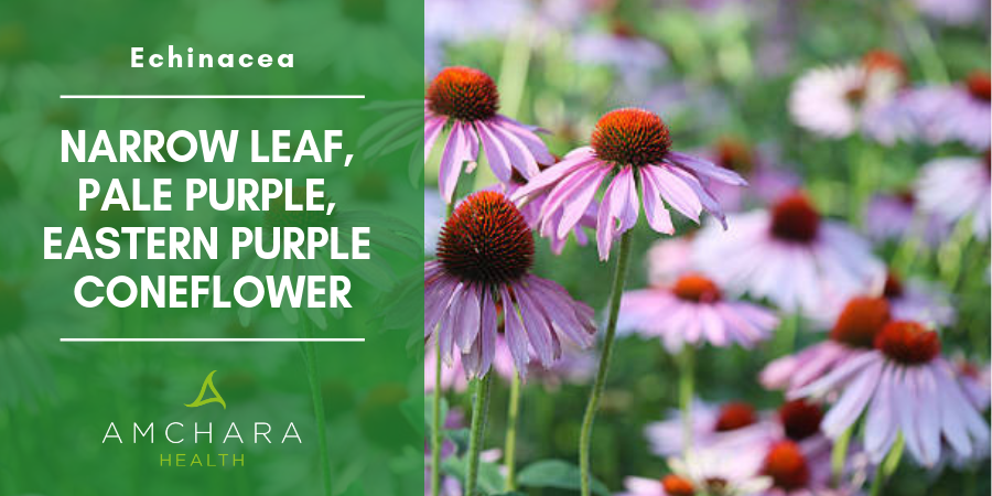 Boost Your Immunity With Echinacea
