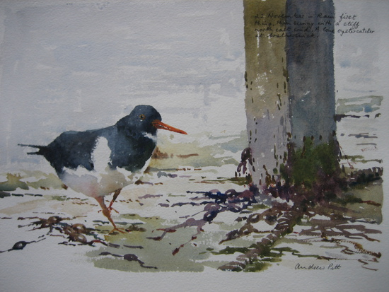 The Inquisitive Oyster Catcher