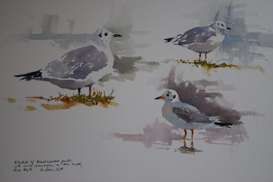 Studies of Blackheaded Gulls