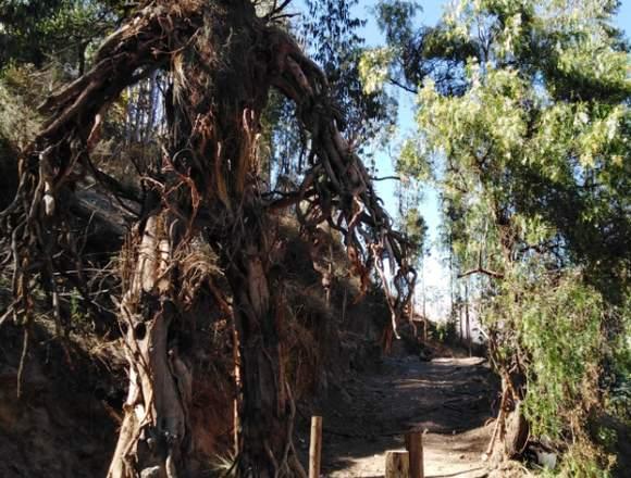 Bosque de los Ents Huasao Atractivo Turistico