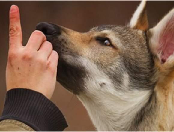 Accede al Mejor Programa de Adiestramiento Canino