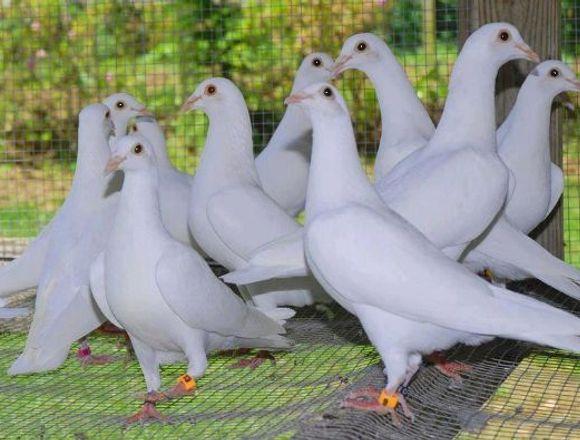 alquilamos palomas blancas para soltar en eventos
