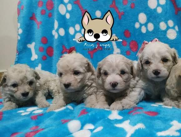 Espectaculares cachorros french poodle minty puros