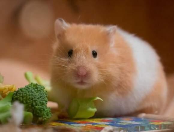 Como alimentar a tu hamster