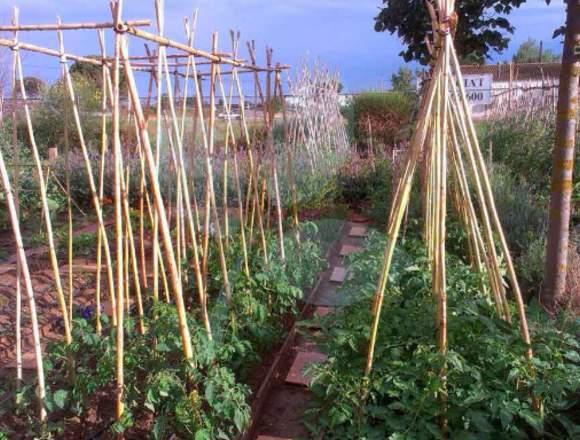 Cañas para Tomateras