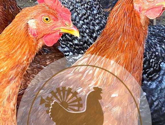 Venta de Huevos de Campo Orgánicos