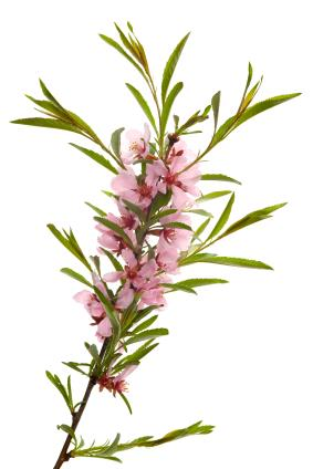 Almond oil Vitamin E firm, even skin