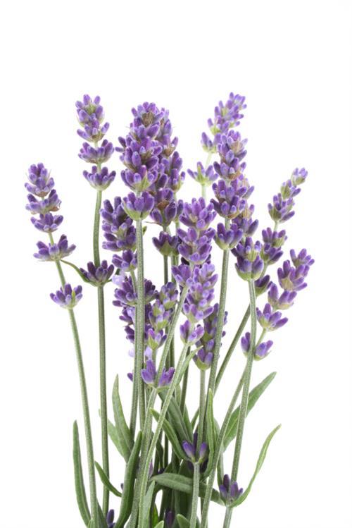 Lavender for bacne
