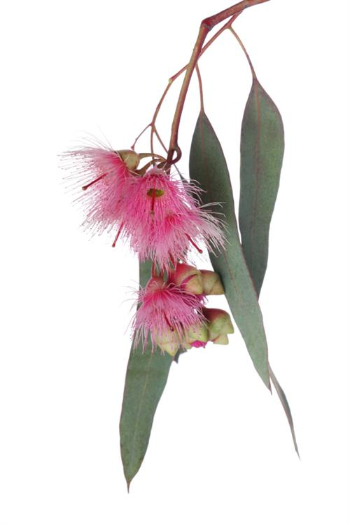 Eucalyptus essential oil for combination skin