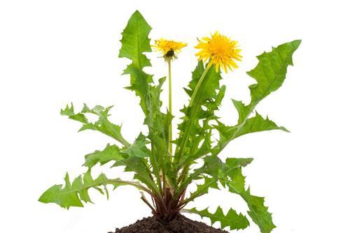 Dandelion to detoxify your body