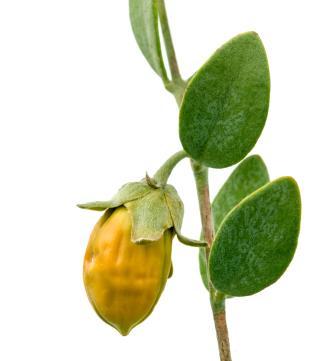 jojoba oil to nourish dry skin