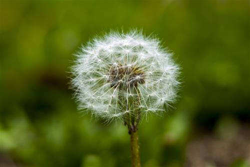 Dandelion for anti-aging diet