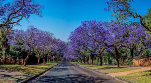 A jacaranda tree-lined street in Pretoria