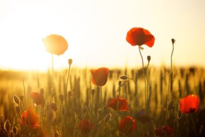 The poppy is the official flower of Memorial Day