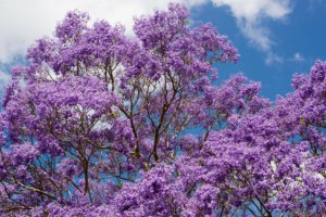 The jacaranda flower is trumpet-shaped