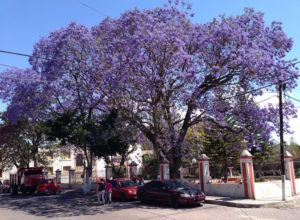 Parking under a jacaranda tree is a recipe for a purple car