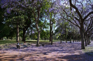 A row of jacaranda trees in a park