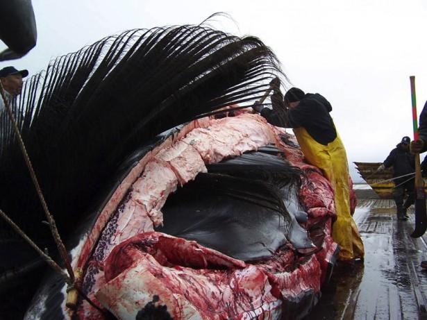 Bowhead Whale Hunting Barrow
