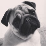 Maggie The Pug