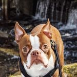 Billy Ray the Boston Terrier