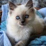 Ragdoll Kitten~ Named Kai