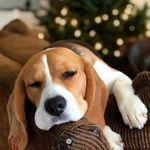 Beagle The Baby