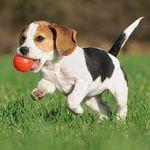 Beagle of IG!