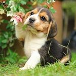 Beagles of Instagram!