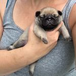 Beatrice_thepug_official