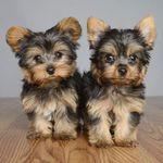 Best Yorkshire Terriers