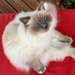 Kai 😻 Birman Kitty 😻