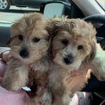 Yorkiechon Bro and Brew Twins