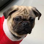 Bruno el Pug 🐶🐾