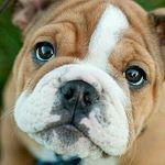 Bulldog Days®