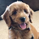 Carlton the Goldendoodle