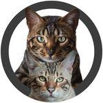 Nero & Titus | Bengal cats
