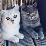 cats.britishshorthair
