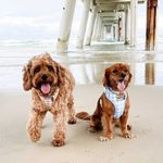 Coco + Ollie The Cavoodles
