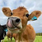 Cows Daily Moments