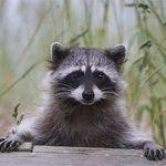 Raccoons 🦝