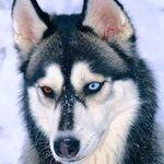 Husky Lovers Here👇