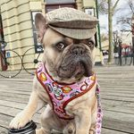 Make Your #Frenchie Famous!