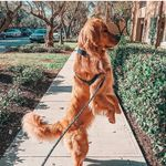 Dogs of IG