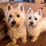 Duncan & Duffy Westie bros