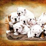 🇺🇸 English bulldog lover 🇺🇲