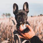 Molly French Bulldog 🐶🐾🎀
