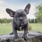 Frenchie Page