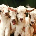 Goat 🐐
