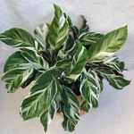 Happy Leaf Plant Babies